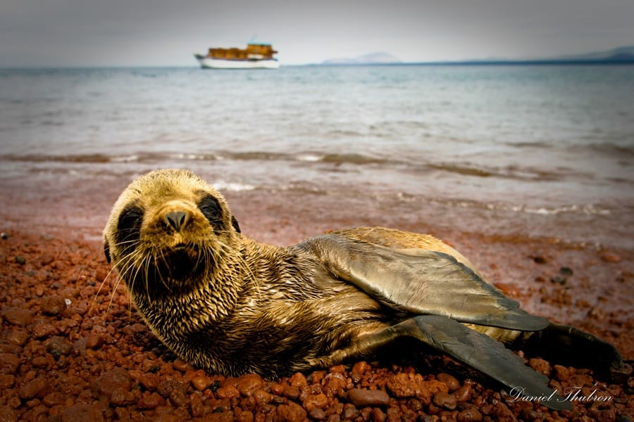 Baby Sea Lion in the Galapagos Islands photographed by 123 Photography